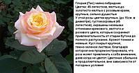 Глория (Пис) чайно-гибридная роза