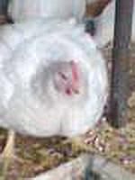 Цыплята бройлера подрощенные