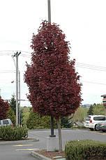 Клен гостролистий Crimson Sentry 1.7м, Клен остролистный Кримсон Сентри, Acer platanoides Crimson Sentry, фото 2
