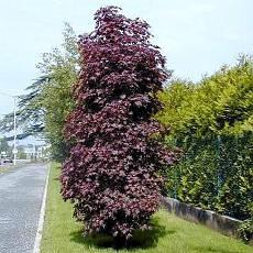Клен гостролистий Crimson Sentry 1.7м, Клен остролистный Кримсон Сентри, Acer platanoides Crimson Sentry, фото 3
