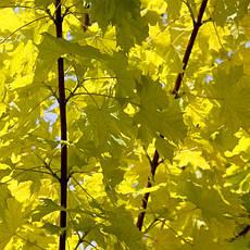 Клен гостролистий Princeton Gold 2-2,3м, Клен остролистный Принсетон Голд, Acer platanoides Princeton Gold, фото 3