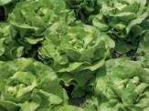 Семена салата Хунгарина 5000 сем.Рийк цваан.