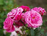 Саженцы розы сорта Etude (Этюд)