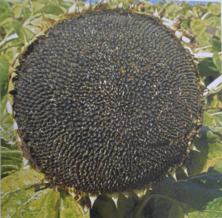 Семена подсолнечника Рими 2