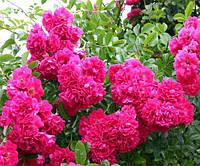 Саженцы плетистой розы Эксцельзия