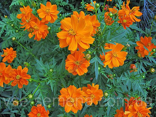 Космея махровая Оранжевый венец 1 г (перефасовано Vse-semena)