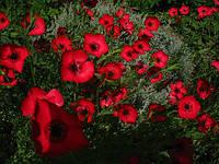 Лен крупноцветковый Рубрум 1 г (перефасовано Vse-semena)