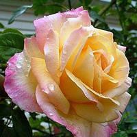 Саженцы роз сорт  Роза Пис (Peace)