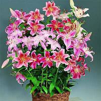 Лилия Микс Oriental,  Florium