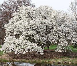 Магнолія Кобус з насіння 3 річна, Магнолия Кобус из семян,  Magnolia kobus, фото 3