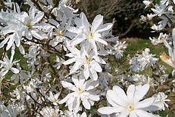 Магнолія Кобус з насіння 3 річна, Магнолия Кобус из семян,  Magnolia kobus, фото 2