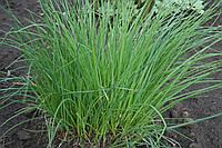 ПРАГА / PRAGA — лук шнитт, SEMO, 10 000 семян