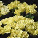 Насіння великоквіткової махрової примули Прімлет F1 лимонна, 1 насінина