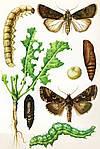 Озима совка (лат. Agrotis segetum)