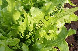 Салат листовий Дубаголд 30шт (Semo) ТМ Добрі Сходи