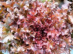 Салат листовий Дубаред 30шт (Semo) ТМ Добрі Сходи