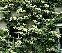Гортензия seemannii (плетистая). Вечнозелёная лиана