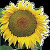 Семена подсолнечника Сержан (стандарт) 2015 г.