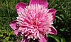 Пион махровый розовый