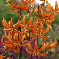 Лилия Orange Marmalade,  Florium