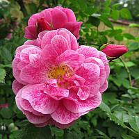 Роза вьющаяся Камелот  ( саженцы )
