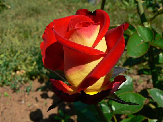 Чайно-гибридная роза Френдшип, саженцы цветов / декоративные растения, фото 2