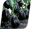 Семена баклажана Клорида F1 1000 семян Seminis