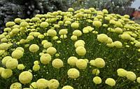 Сантолина зелена, 10-15 см, 2-літки, фото 1