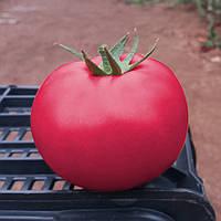ПИНК КРИСТАЛ F1 / PINK KRISTAL F1 — томат индетерминантный, Clause 1 000 семян