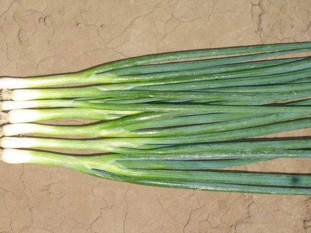 Семена лука на перо Банчинг Стар 50.000 семян Enza Zaden