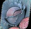 Семена капусты к/к Рэд Династи F1 2500 семян Seminis