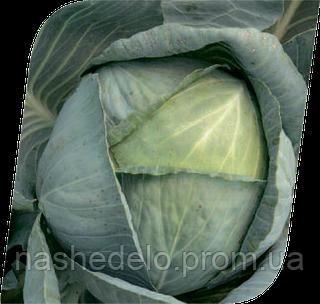 Семена капусты б/к Колия F1 2500 семян Seminis