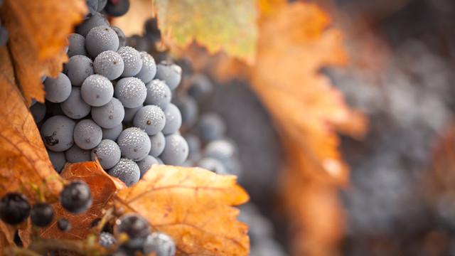 Особенности выращивания винограда в северных регионах Украины