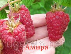 Амира - саженцы малины ремонтантной