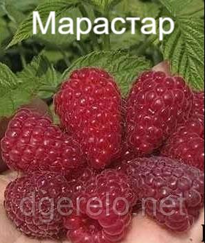 Марастар - саженцы малины ремонтантной