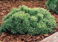 Сосна горная Гном (Pinus mugo Gnom) 40-60 см.