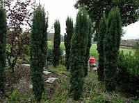 Тис ягодный Fastigiata Robusta h=61-70(ком)