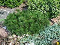 Сосна горная карликовая Mugo Pumilio (ком)