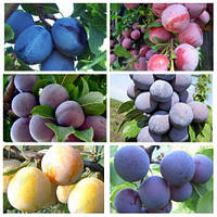 Продажа саженцев плодовых деревьев, кустарников на Agrodivo.com.ua