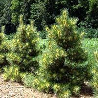 Сосна густоцветковая Окулус Драконис (Pinus densiflora Oculus Draconis)  100-125 см.