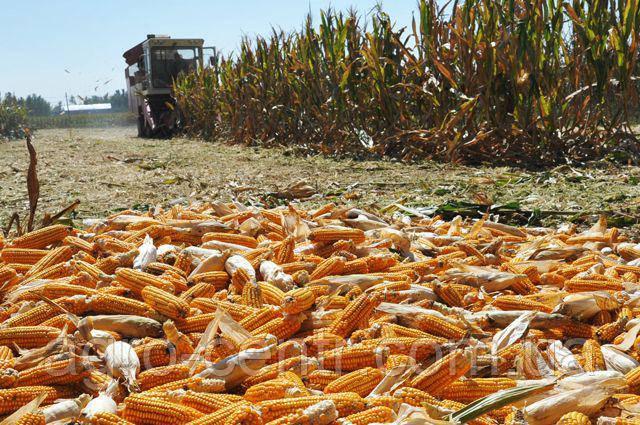 Семена кукурузы ДКС 3759 (ФАО 290)