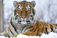 Набор алмазной вышивки Величественный тигр