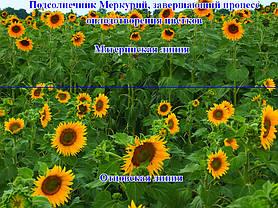 Подсолнечник Меркурий (Евролайтинг)- 1 п.е., фото 2