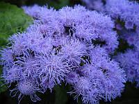 Агератум голубой, семена 0,1 г