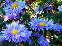 Астра многолетняя Lady in Blue (Леди ин Блю) корневище