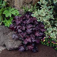 Гейхера Micrantha Palace Purple (Пурпурный замок) корневище оптом