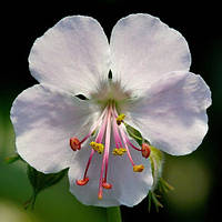Герань садовая Cantabrigiense Biokovo корневище оптом