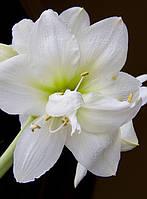 Гиппеаструм махровый White Nymph / Уайт Нимф / 1 луковица 24/26