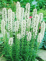 Лиатрис белый Spicata Alba / 50 клубней/уп.