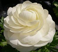 Лютик (ранункулюс) азиатский белый 100 клубней/уп.